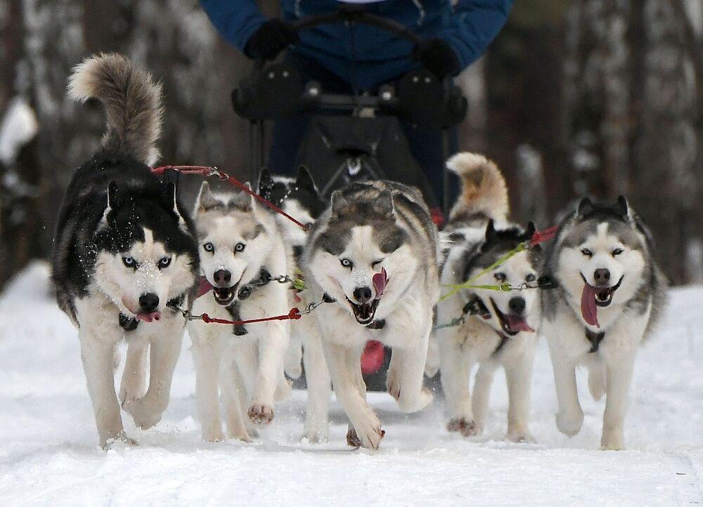 Cani di razza Siberian Husky nella tradizionale competizione di Capodanno Gara di pupazzi di neve 2020 nel territorio di Krasnoyarsk presso lo stadio sciistico Snezhinka nella città di Sosnovoborsk