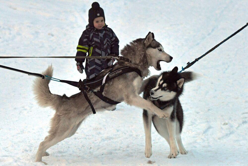 Cani di razza Siberian Husky nella tradizionale competizione di Capodanno Gara di pupazzi di neve 2020 nel territorio di Krasnoyarsk presso presso l'arena sciistica Snezhinka nella città di Sosnovoborsk