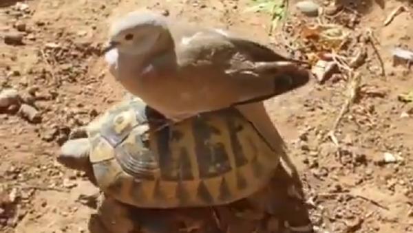 Tartaruga e piccione - Sputnik Italia