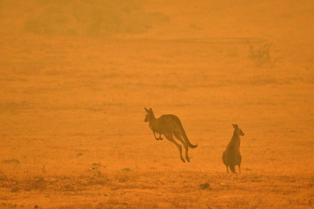 I canguri durante gli incendi boschivi in Australia