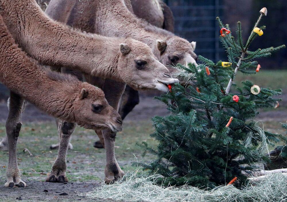 Cammelli allo zoo Tierpark di Berlino