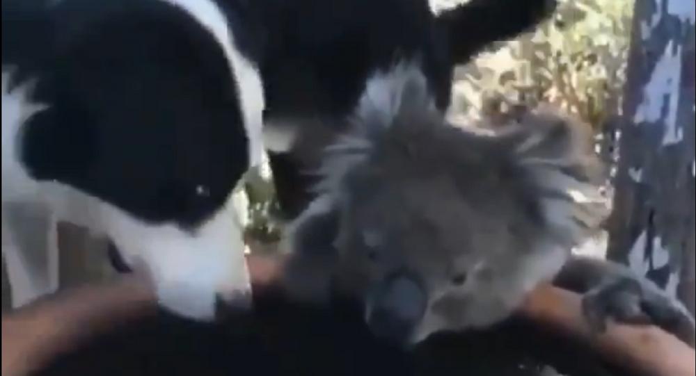 Koala e cane