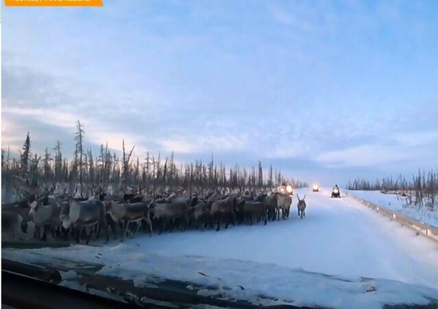 Tantissime renne nell'Estremo nord della Russia