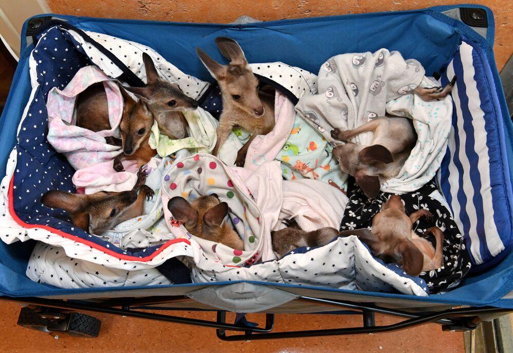 Dei cuccioli di canguro e wallaby che sono rimaste orfane a causa di incidenti stradali, attacchi di cani, incendi boschivi e siccità, Australia, il 15 gennaio 2020
