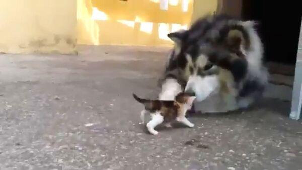 Husky e gattino - Sputnik Italia