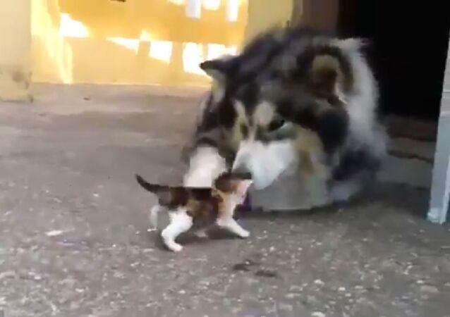 Husky e gattino