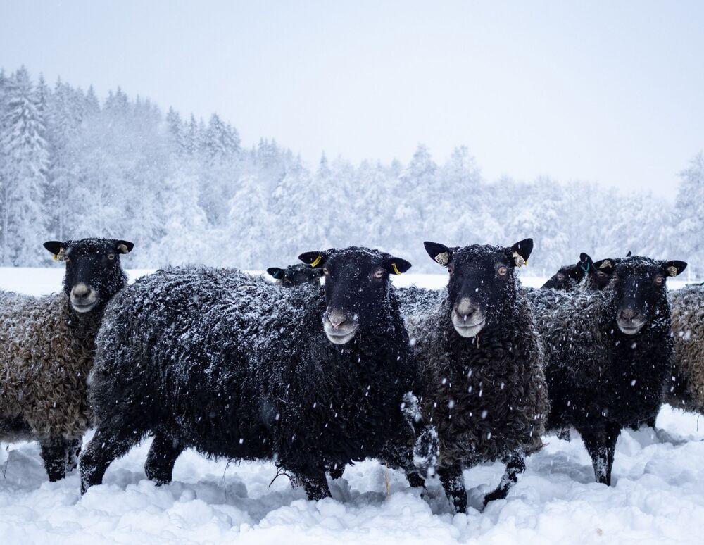 Pecore su un campo nevoso