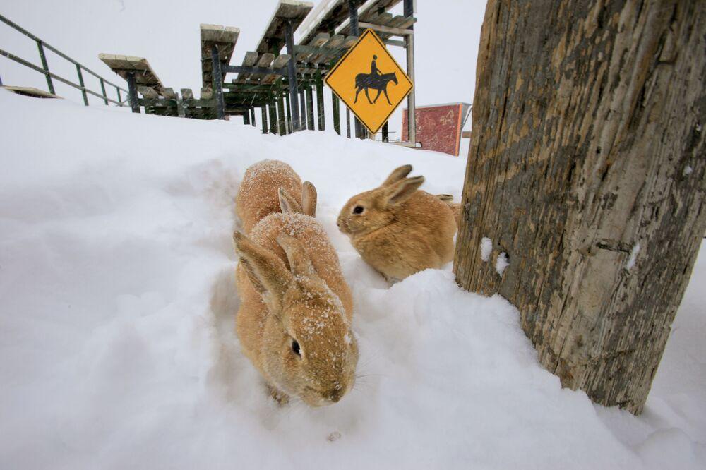 Conigli nella neve in Colorado