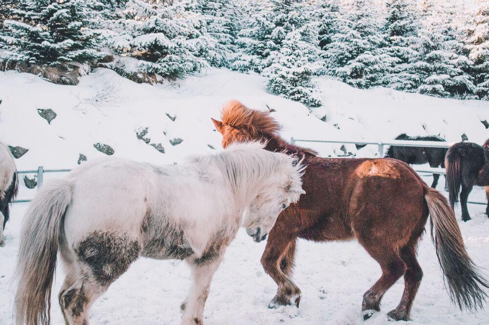 Cavalli in un recinto in inverno