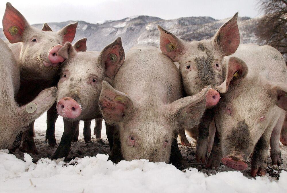 Dei maiali cercano cibo sotto la neve nel loro recinto all'aperto nel villaggio svizzero di Trimmis