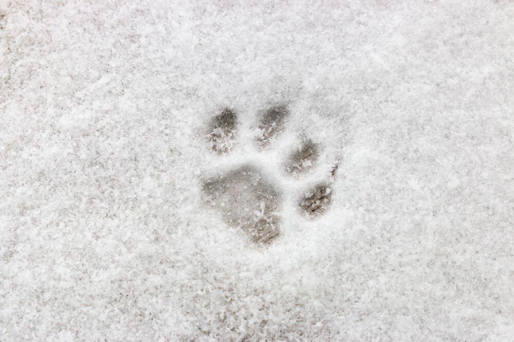 L'impronta di gatto sulla neve