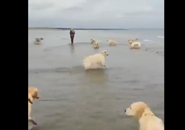 Golden Retriever esultante salta in mare