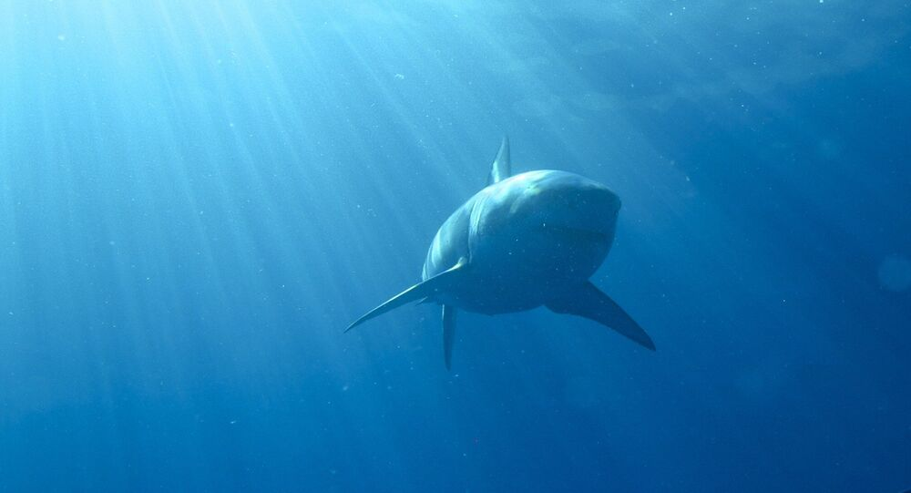 Uno squalo bianco