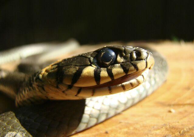 Serpente in primo piano