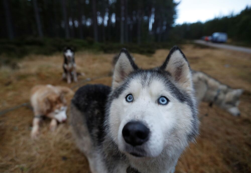 Esemplari di husky prima di una corsa con i cani da slitta Aviemore Sled Dog Rally a Feshiebridge, in Scozia.