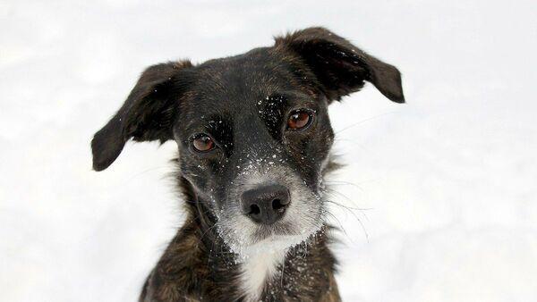 Cane sulla neve - Sputnik Italia