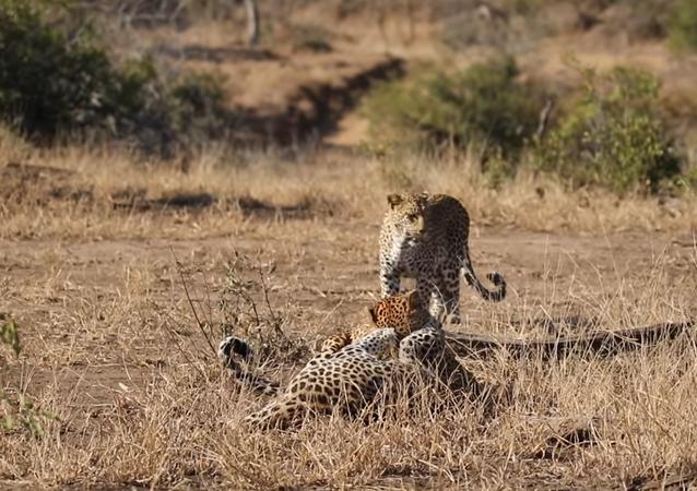 Femmina di leopardo termina feroce combattimento tra due maschi - Video