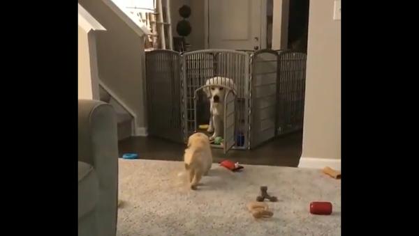 Posso entrare? Cucciolo di Golden Retriever si avvicina timidamente al fratello maggiore - Sputnik Italia