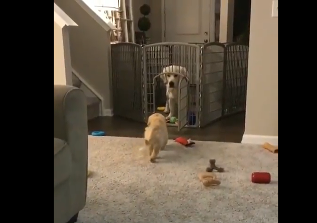 Posso entrare? Cucciolo di Golden Retriever si avvicina timidamente al fratello maggiore