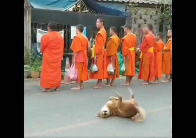 Cane esprime la sua gioia mentre dei monaci si fermano per pregare in un tempio del Laos - Video