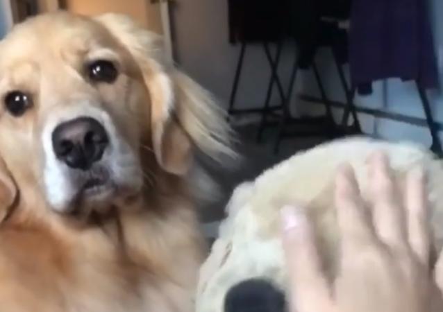 La gelosia di un cane per un peluche colpisce il web