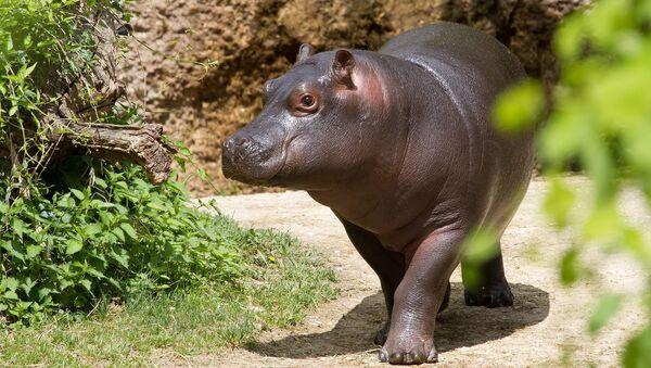 Cucciolo dell'ippopotamo  - Sputnik Italia