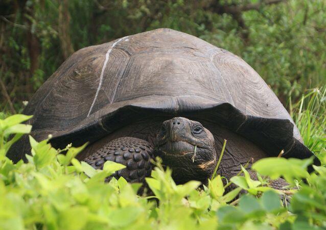 Tartaruga gigante nel Parco Nazionale Galapagos