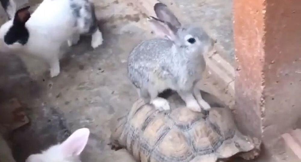 Coniglio a bordo di tartaruga terrestre