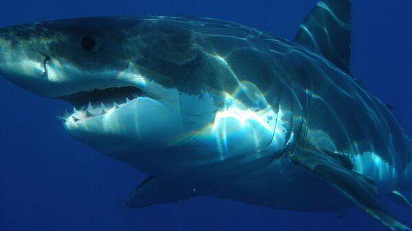 uno squalo bianco - Sputnik Italia