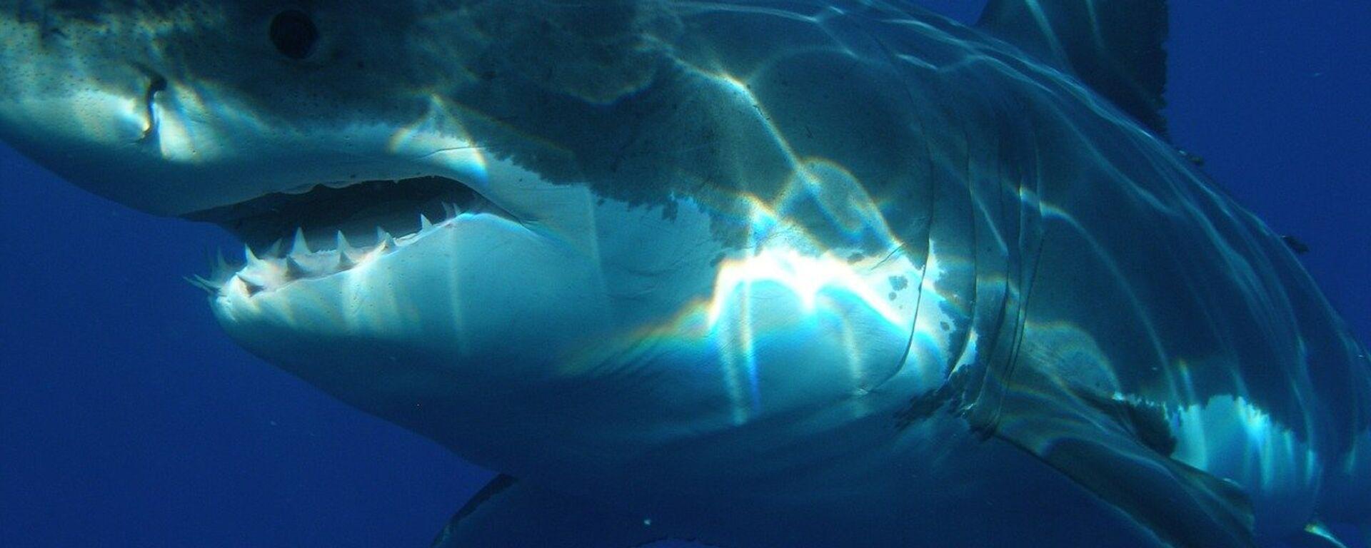 uno squalo bianco - Sputnik Italia, 1920, 24.07.2021