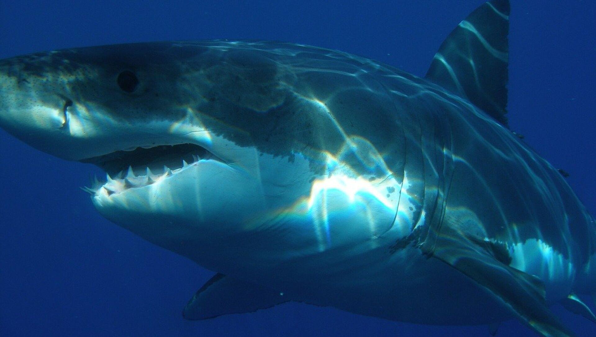 uno squalo bianco - Sputnik Italia, 1920, 08.05.2021