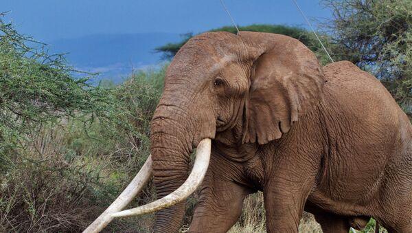 Il famoso elefante Tim, Kenya - Sputnik Italia