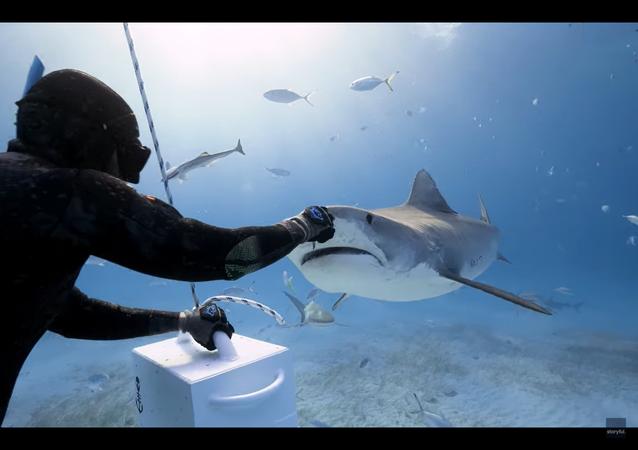 Squalo tigre addenta pesce dalle mani di un subacqueo - video