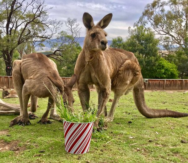 I canguri al Bonorong Wildlife Sanctuary, Tasmania, Australia - Sputnik Italia