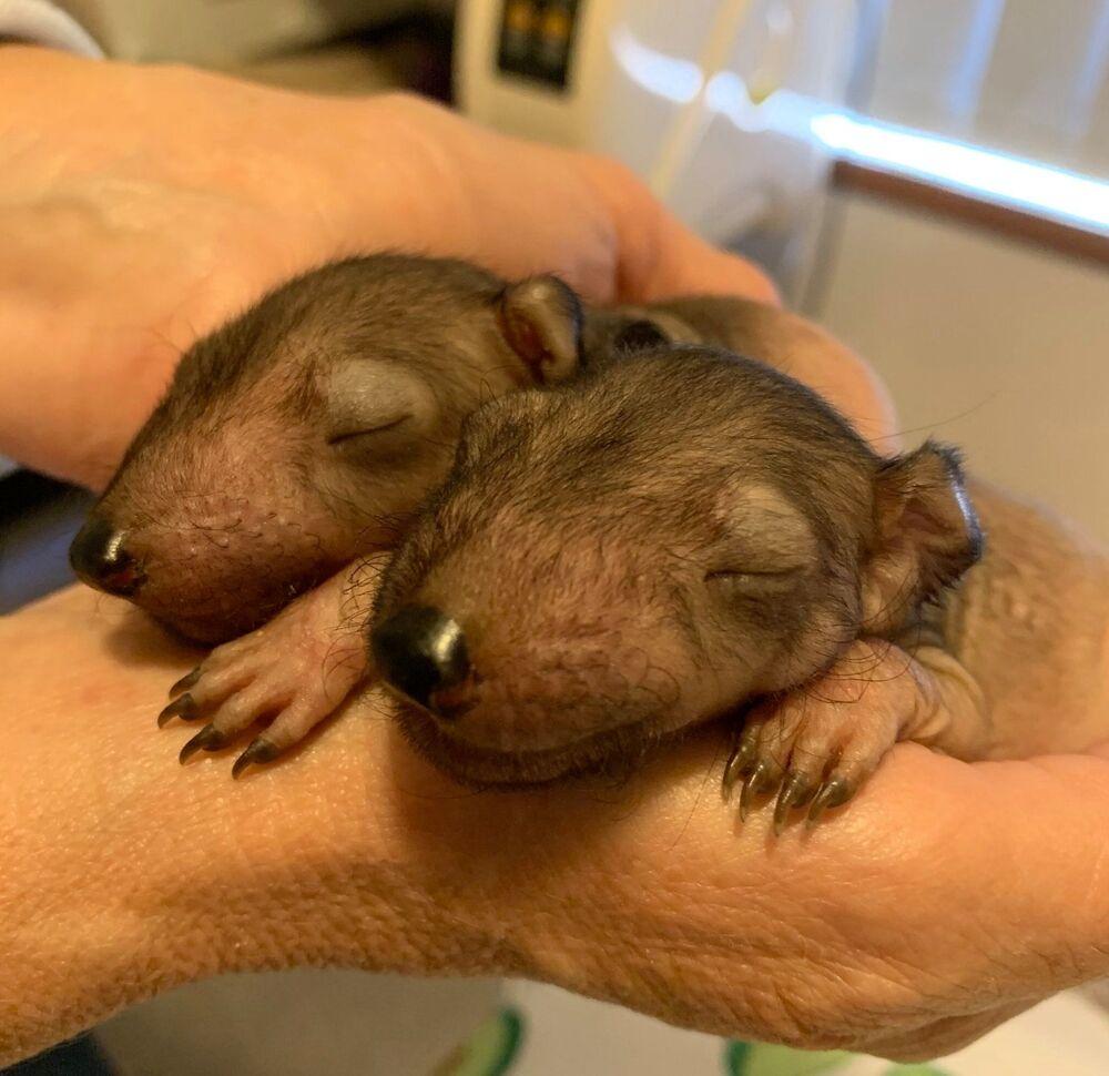 Cuccioli di diavolo della Tasmania al Bonorong Wildlife Sanctuary, Tasmania, Australia