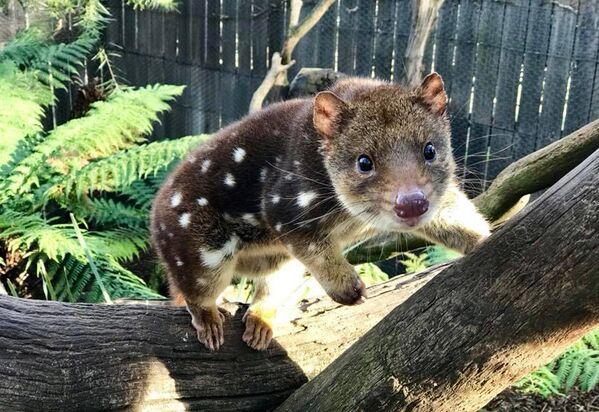 Un quoll orientale al Bonorong Wildlife Sanctuary, Tasmania, Australia - Sputnik Italia