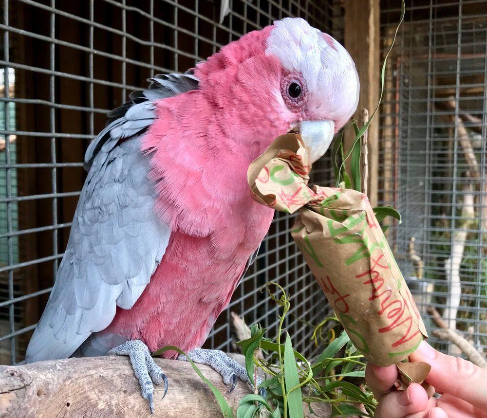 Un cacatua rosa al Bonorong Wildlife Sanctuary, Tasmania, Australia