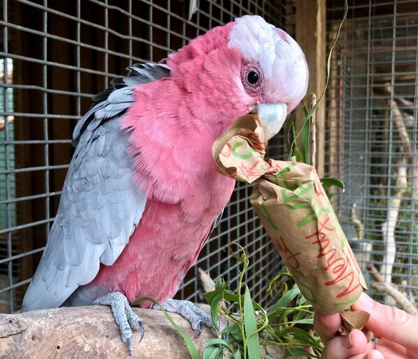 Un cacatua rosa al Bonorong Wildlife Sanctuary, Tasmania, Australia - Sputnik Italia