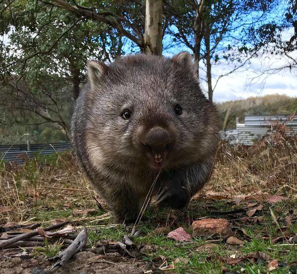Un vombato al Bonorong Wildlife Sanctuary, Tasmania, Australia - Sputnik Italia