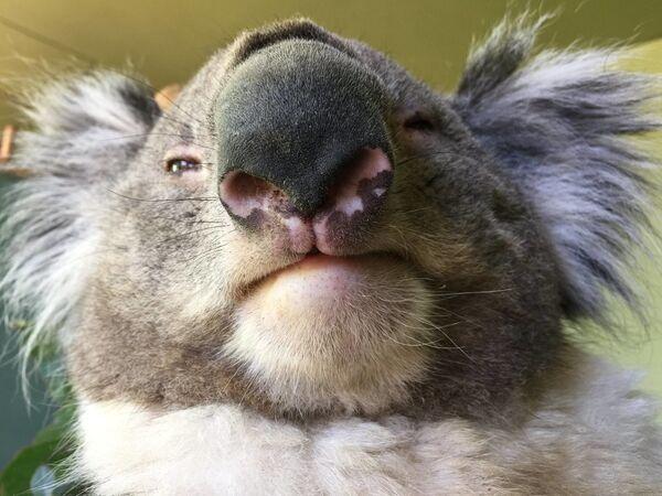 Un koala al Bonorong Wildlife Sanctuary, Tasmania, Australia - Sputnik Italia