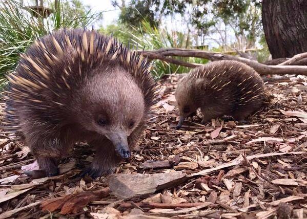 Formichiere spinoso al Bonorong Wildlife Sanctuary, Tasmania, Australia - Sputnik Italia