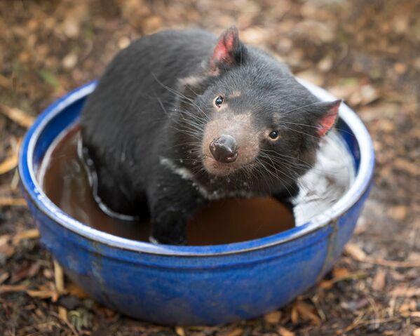 Un diavolo della Tasmania al Bonorong Wildlife Sanctuary, Tasmania, Australia - Sputnik Italia