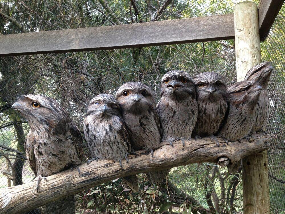 I podargi al Bonorong Wildlife Sanctuary, Tasmania, Australia