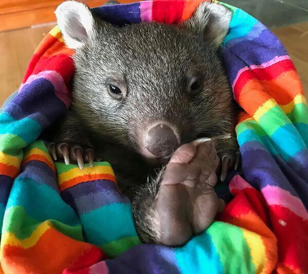 Un cucciolo di vombato al Bonorong Wildlife Sanctuary, Tasmania, Australia - Sputnik Italia