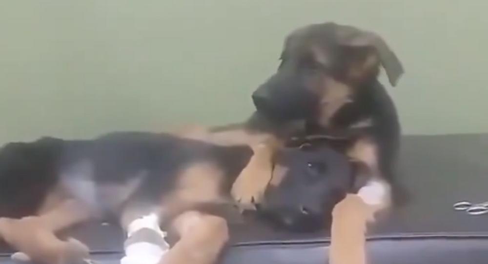 Pastore tedesco conforta sorellina dopo operazione chirurgica - Video