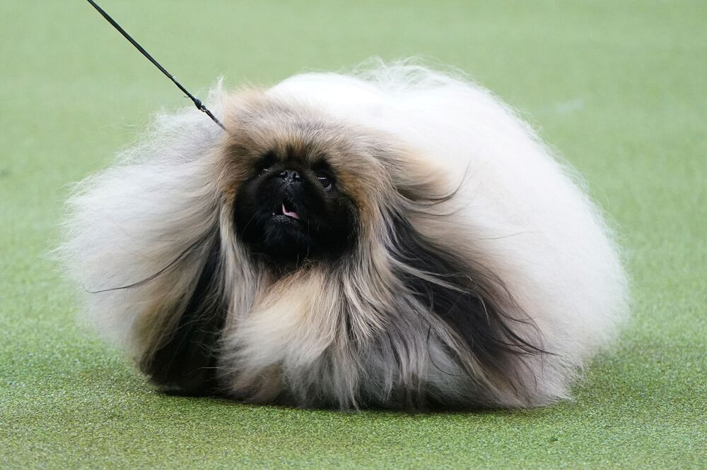 Un pechinese di nome Wasabi allo show dei cani Westminster Kennel Club a New York.