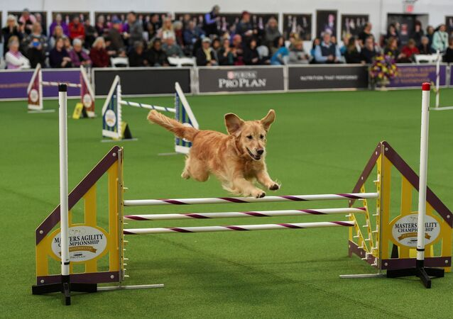 Un cane si esibisce show dei cani Westminster Kennel Club a New York.