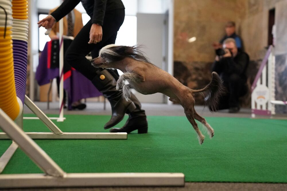 Il cane crestato cinese Pepe allo show dei cani Westminster Kennel Club a New York.