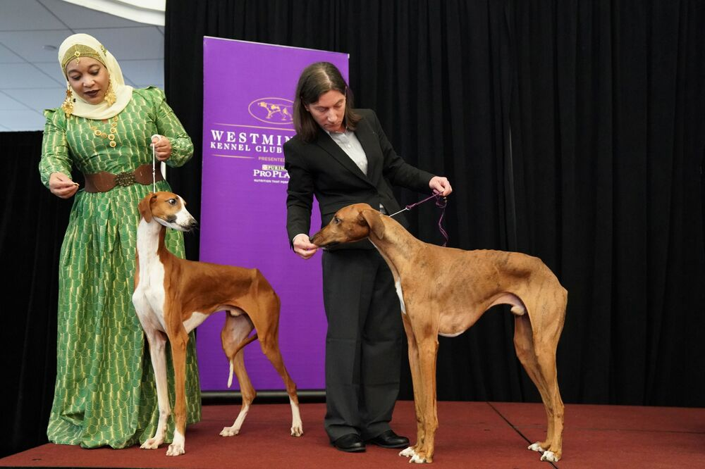 Due cani Azawakh allo show dei cani Westminster Kennel Club a New York.
