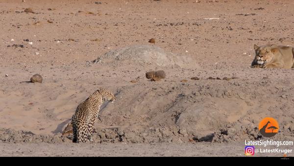 Corri o ti prendo! Un incontro ravvicinato tra due pericolosi felini - Video - Sputnik Italia